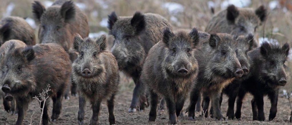 Wild Boars Kill Three ISIS Members In Raid