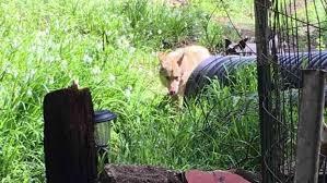 Cat-killing dogs roaming neighborhood in Santa Cruz mountains