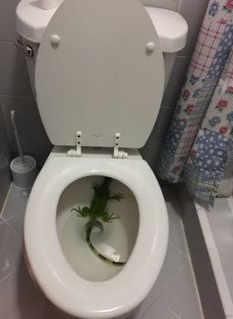 A South Florida woman finds iguana in toilet bowl, calls 911