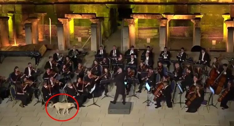 Adorable dog cooly interrupts  an orchestral performance (VIDEO)