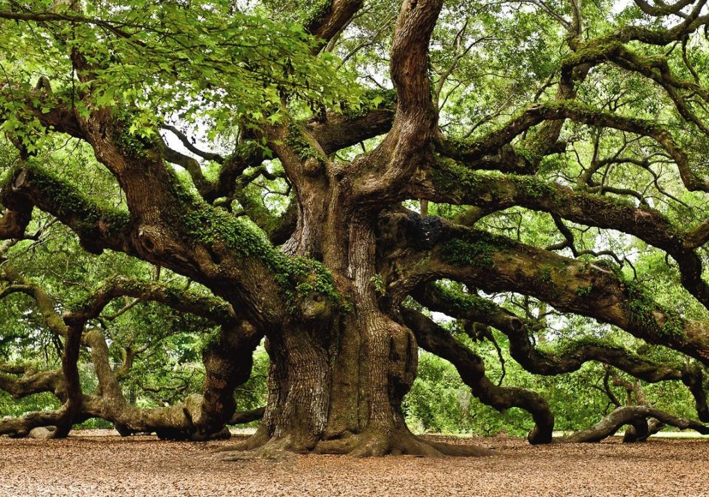 The 1,500 years old Angel Oak is one of the oldest living things east of the Mississippi River