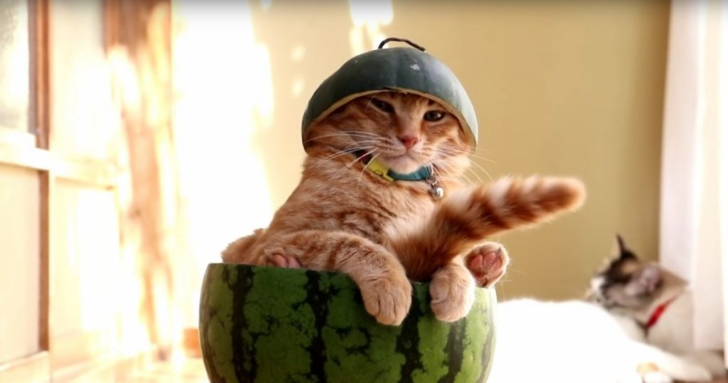 IT'S SO CUTE!!!  A Cat Sitting in a Watermelon, Contemplating Life (WATCH)