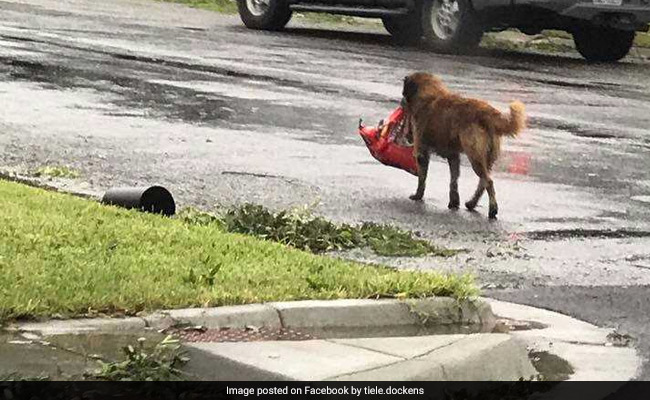 A photo of a dog carrying a bag of food After Storm Goes Viral