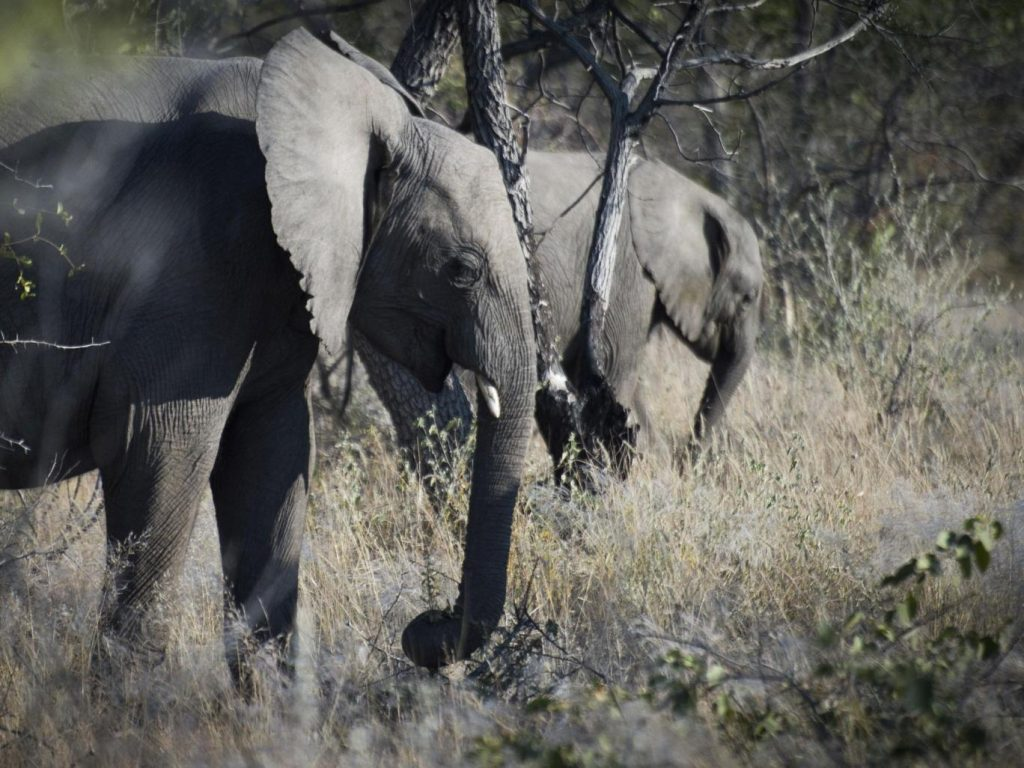 Big game hunter killed after being trampled by elephant he was going to shoot