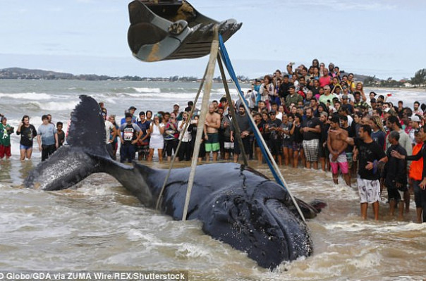 WATCH: 32ft baby whale was finally returned to its rightful home after being beached for nearly 24 hours
