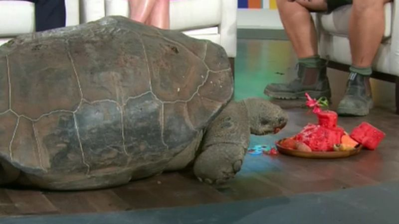 Hugo the tortoise tucks into fruit cake on his 67th birthday