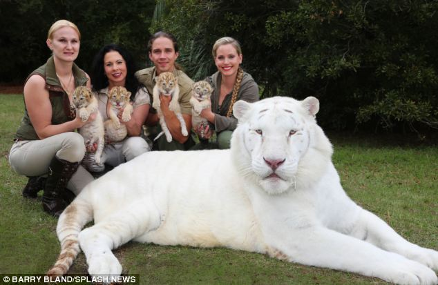 White lion and white tiger had babies together, too cute