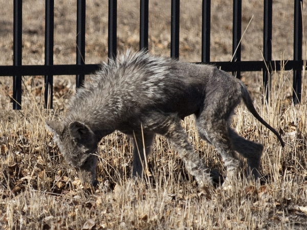 'Zombie Dogs' Roaming Chicago Streets