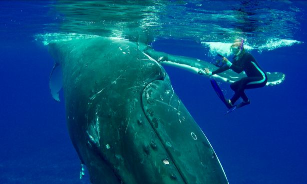 Heart-stopping moment hero whale saves snorkeler from tiger shark in the Pacific Ocean