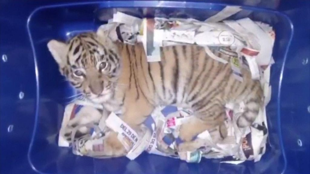 Tiger Cub Found In The Mail package by Mexican officials