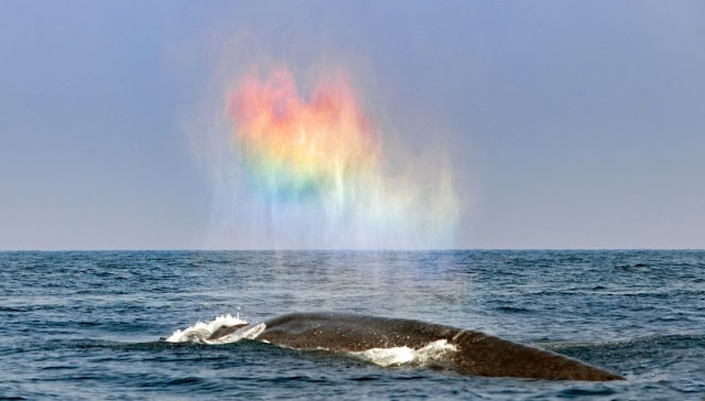 Blue whale appears to blow rainbow heart
