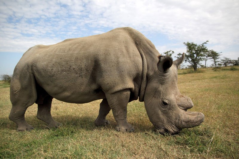 World's last male northern white rhino dies, aged 45