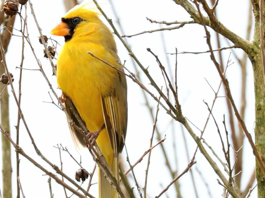 'One-in-a-million' yellow cardinal seen in Alabama