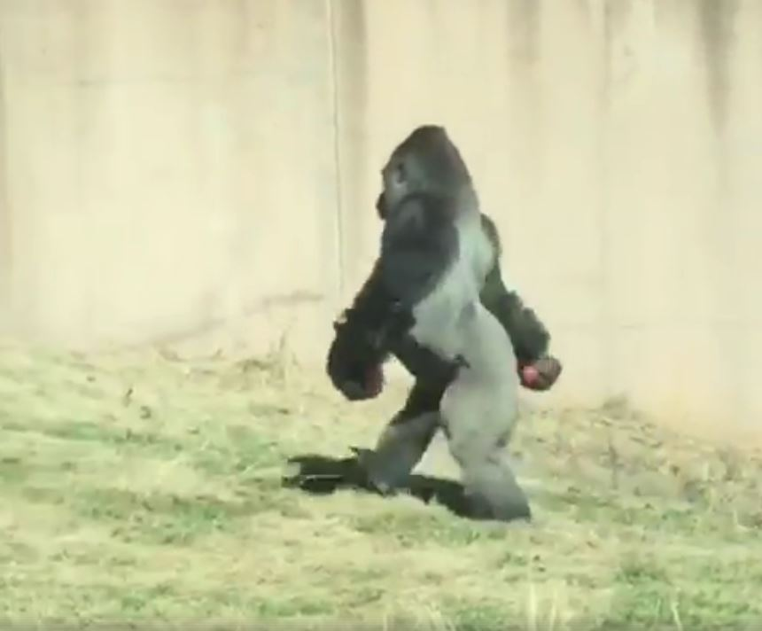 Gorilla at Philadelphia Zoo walks on two legs to keep hands clean