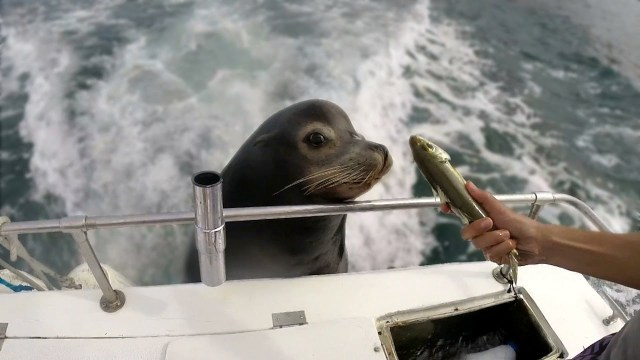 Hungry Sea Lion Hilariously Demands Some Fish While Hitching a Free Ride on the Back of a Boat