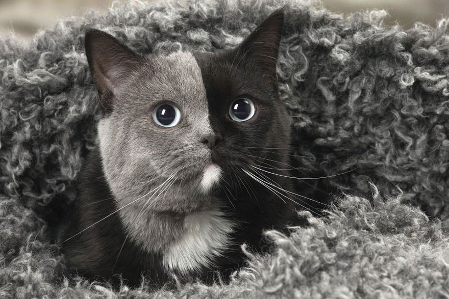 Kitten Born With Two Faces Has Grown Into a Striking Cat