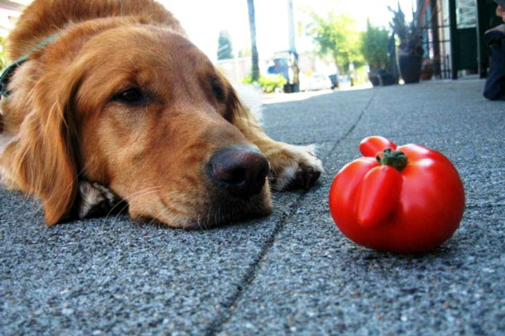Can dogs eat tomatoes and cucumbers?