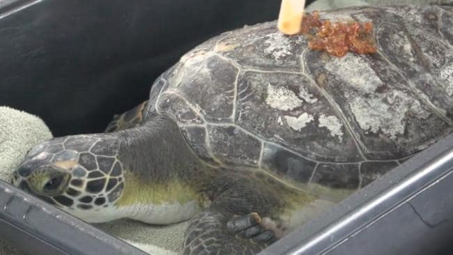 Scientists in Florida are Using Honey to Treat Injured Sea Turtles