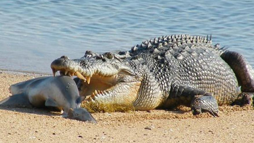 Saltwater Crocodile — This amazing animal is the largest of all crocodilians