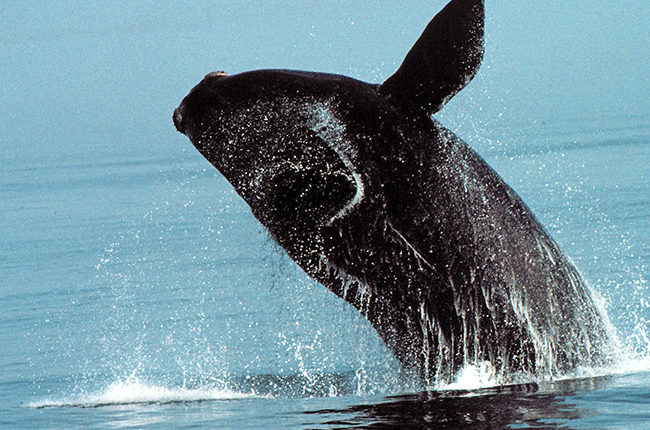 Government of Canada takes steps to protect right whales