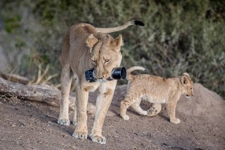 Lioness steals photographer's camera to give to her cubs as a new toy