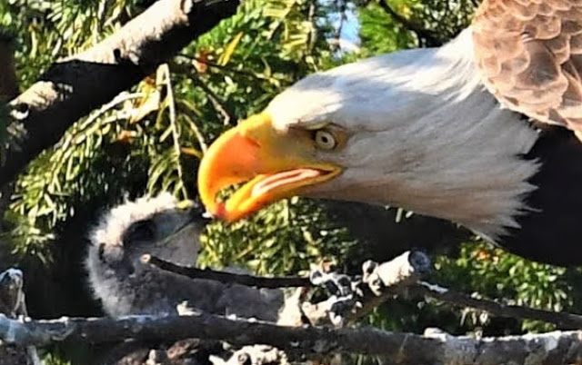 Bald eagles adopt baby hawk into their nest in Canada