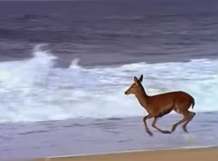 Young Wild Deer Playing In The Ocean Will Make Your Day