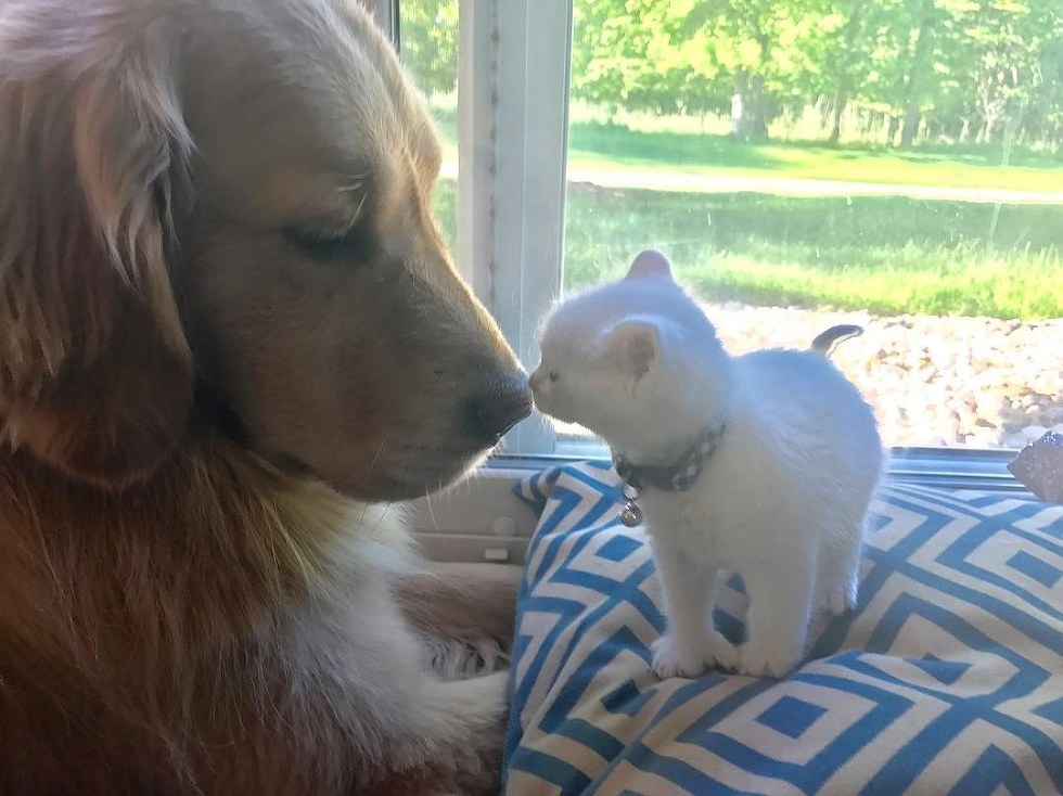 Tiny kitten Found Love in Giant Dog
