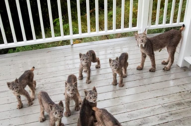 Man wakes up to find  adorable lynx kittens and their mom playing on his porch