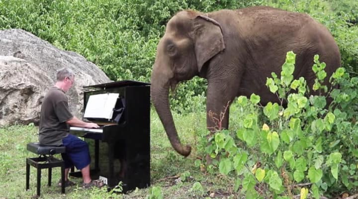 Man plays classical music for elderly and blind elephants