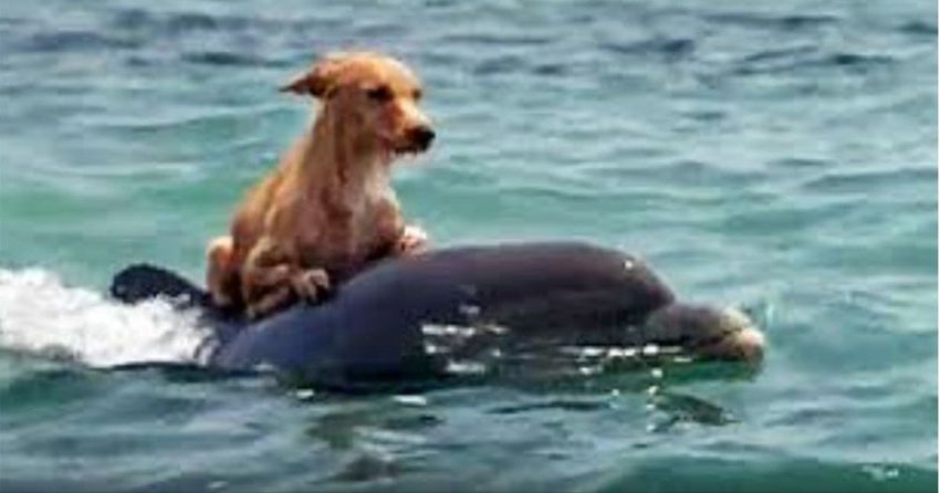Group Of Dolphins Saves a drowning dog in incredible manner
