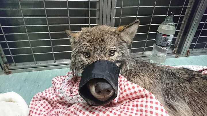 Young gentlemen Rescue A 'Dog' From An Icy River, Turns Out To Be A Wolf