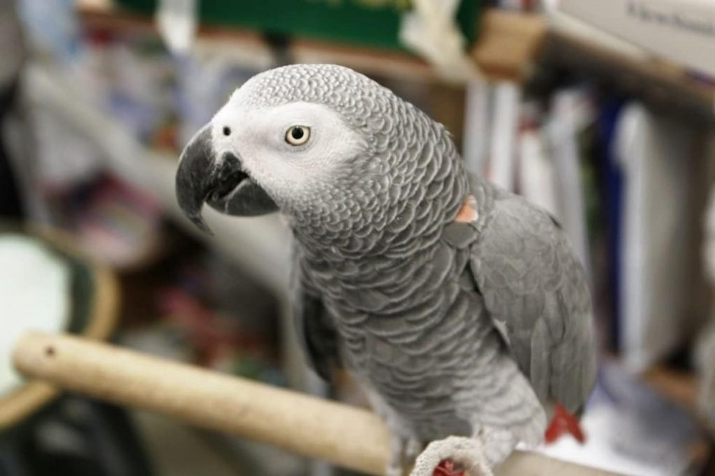 British parrot disappears for four years and returns to its owner speaking Spanish