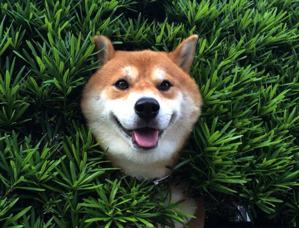 Dog Gets Stuck In A Bush, But Keeps Smiling Like Nothing Happened