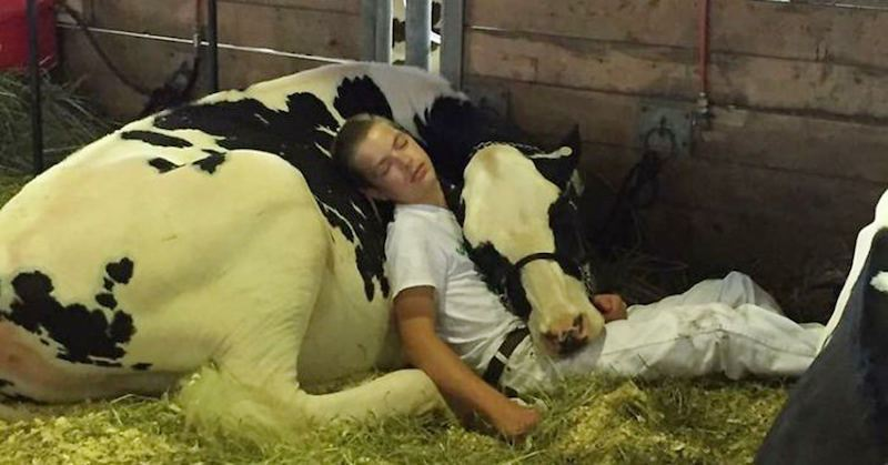 Iowa Teen And His Cow Lose At State Fair, Take A Nap Together And Win the hearts of folks around the globe