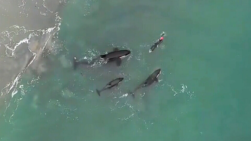 Extraordinary drone footage shows orcas surrounding a woman swimming off the coast of New Zealand