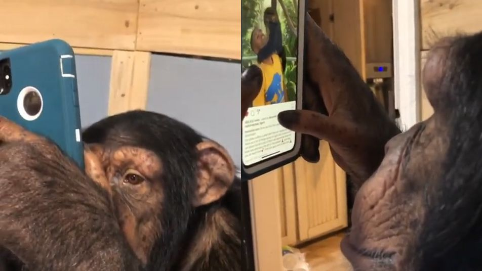 Video of a chimpanzee using a smartphone to browse Instagram is facing criticism
