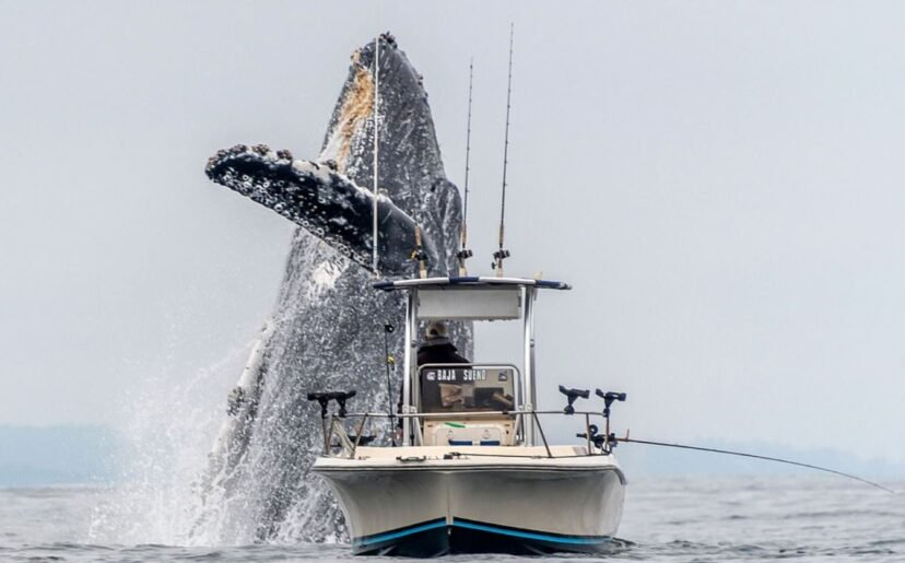 Incredible Footage Shows Huge Humpback Whale Jumps Out Of Sea Right Next To Fishing Boat