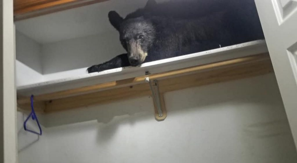 Black bear enters Montana home and takes nap on closet shelf