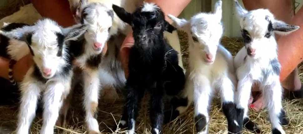 Momma goat gives birth to rare quintuplets in NC