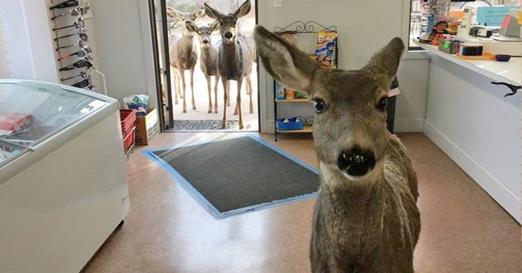 Deer Enters A Gift Shop Looking For Food, Comes Back  With A Surprise