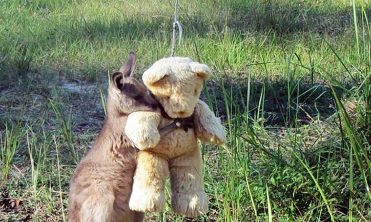 Orphaned Baby Kangaroo Still Comes Home to Hug His Teddy Bear After Release