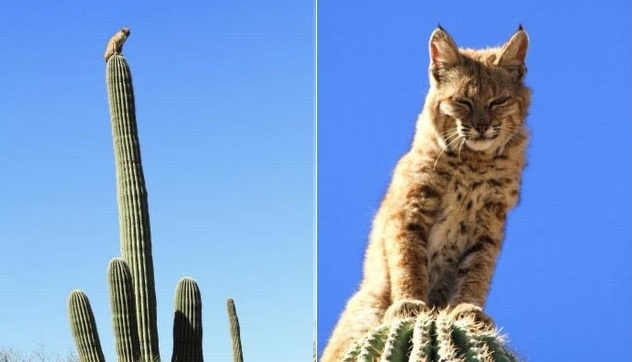 Bobcat Sits on Top of 40-Foot Cactus. It was a one-in-a-million event that went well for the bobcat