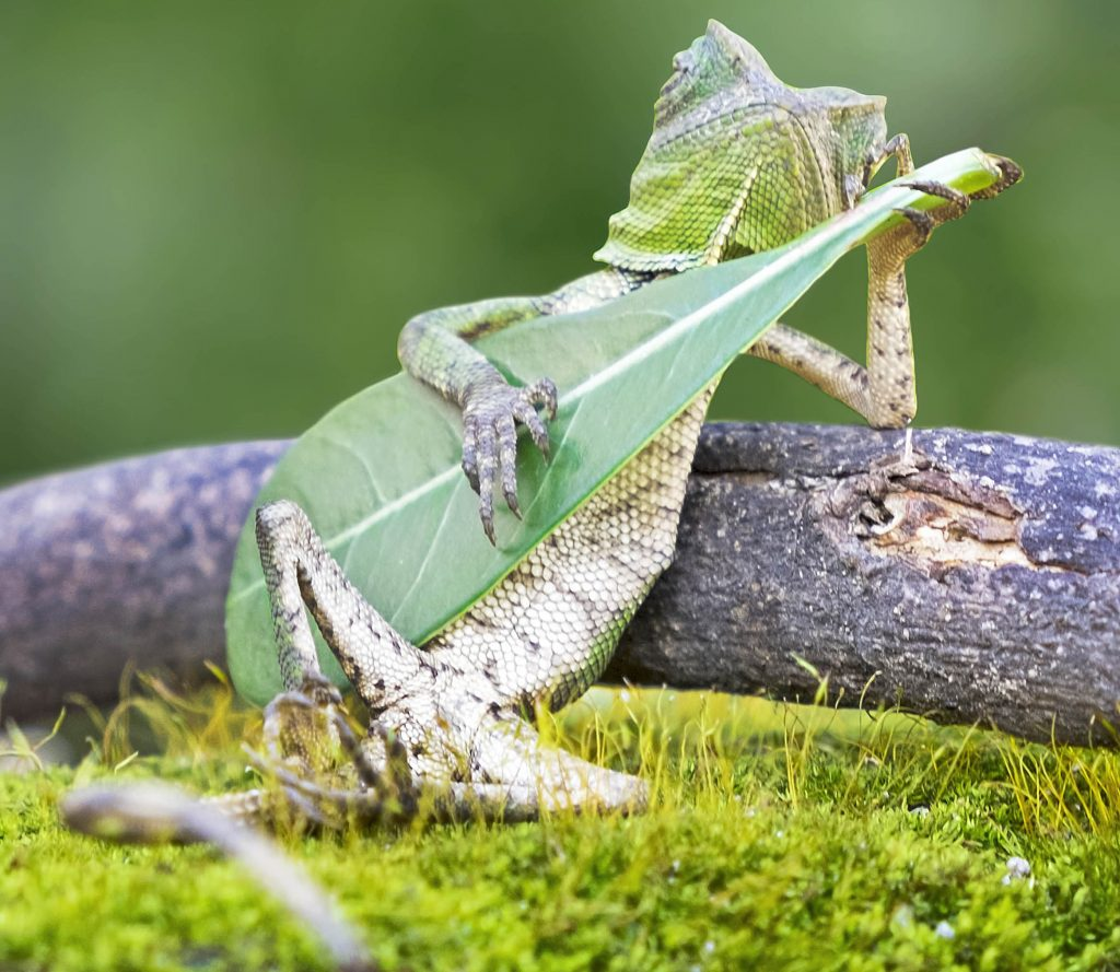 Adorable Dragon Lizard Caught Playing Leaf Guitar In Indonesia