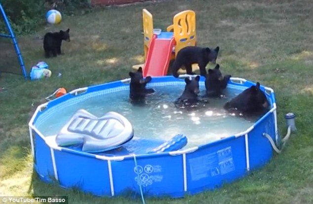 New Jersey kids watch family of bears cool off  In their paddling pool