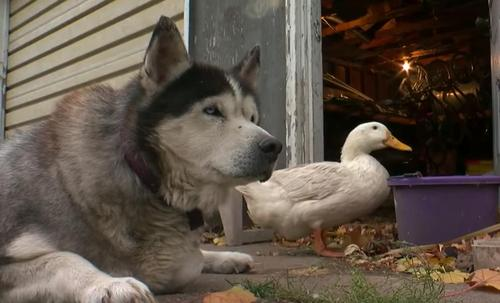 Duck and Malamute Make An Unlikely Pair And Go Everywhere Together