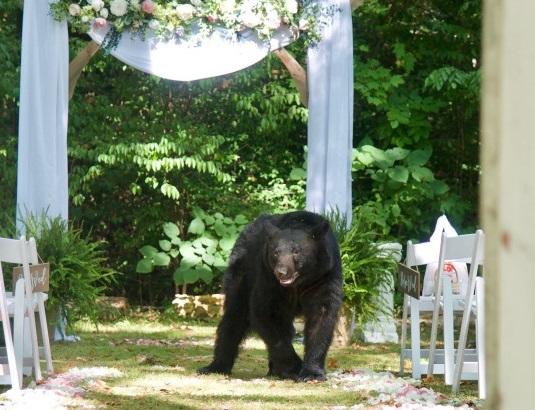 Black bear photobombs wedding photoshoot