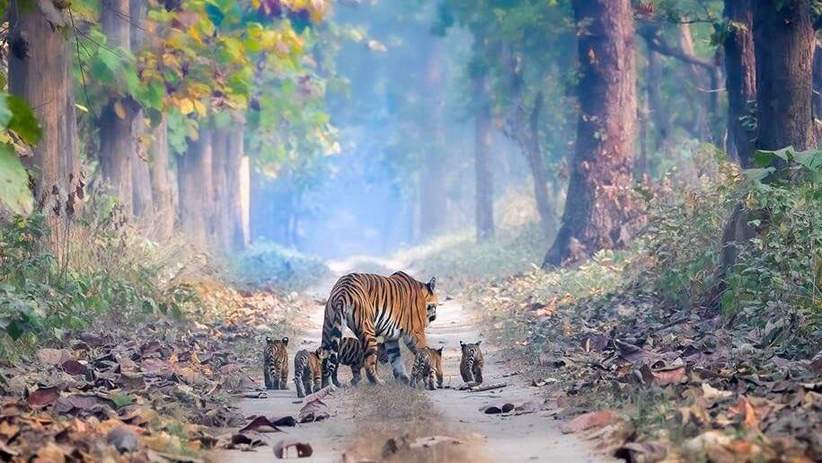 India's Tiger Population On The Rise: This magical picture gives us hope