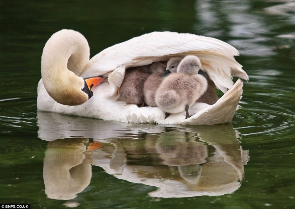 Swan Mom Adorably Carries All Her Babies Under Her Wing While Swimming