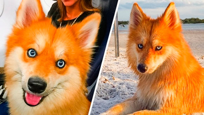 This dog is a pomeranian, husky mix and it looks just like a fox